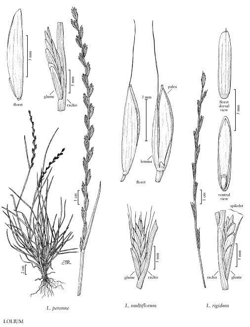 Annual Ryegrass  Lolium Multiflorum