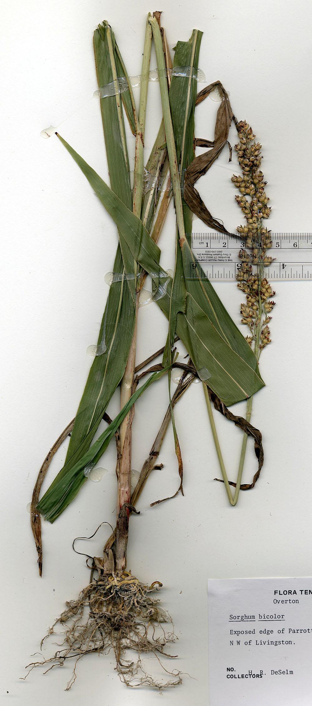 grain sorghum sorghum bicolor
