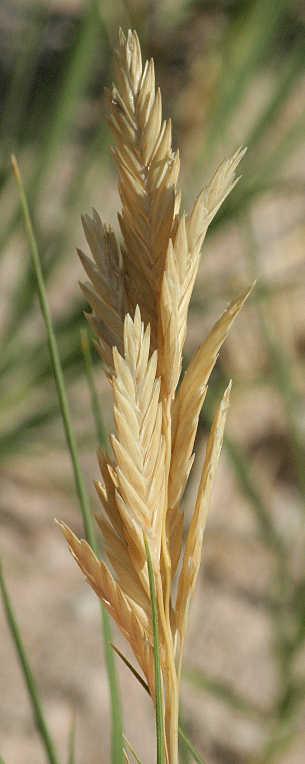 Inland Saltgrass Distichlis Spicata