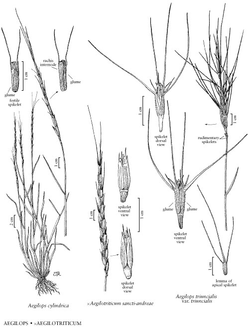 jointed goatgrass  aegilops cylindrica