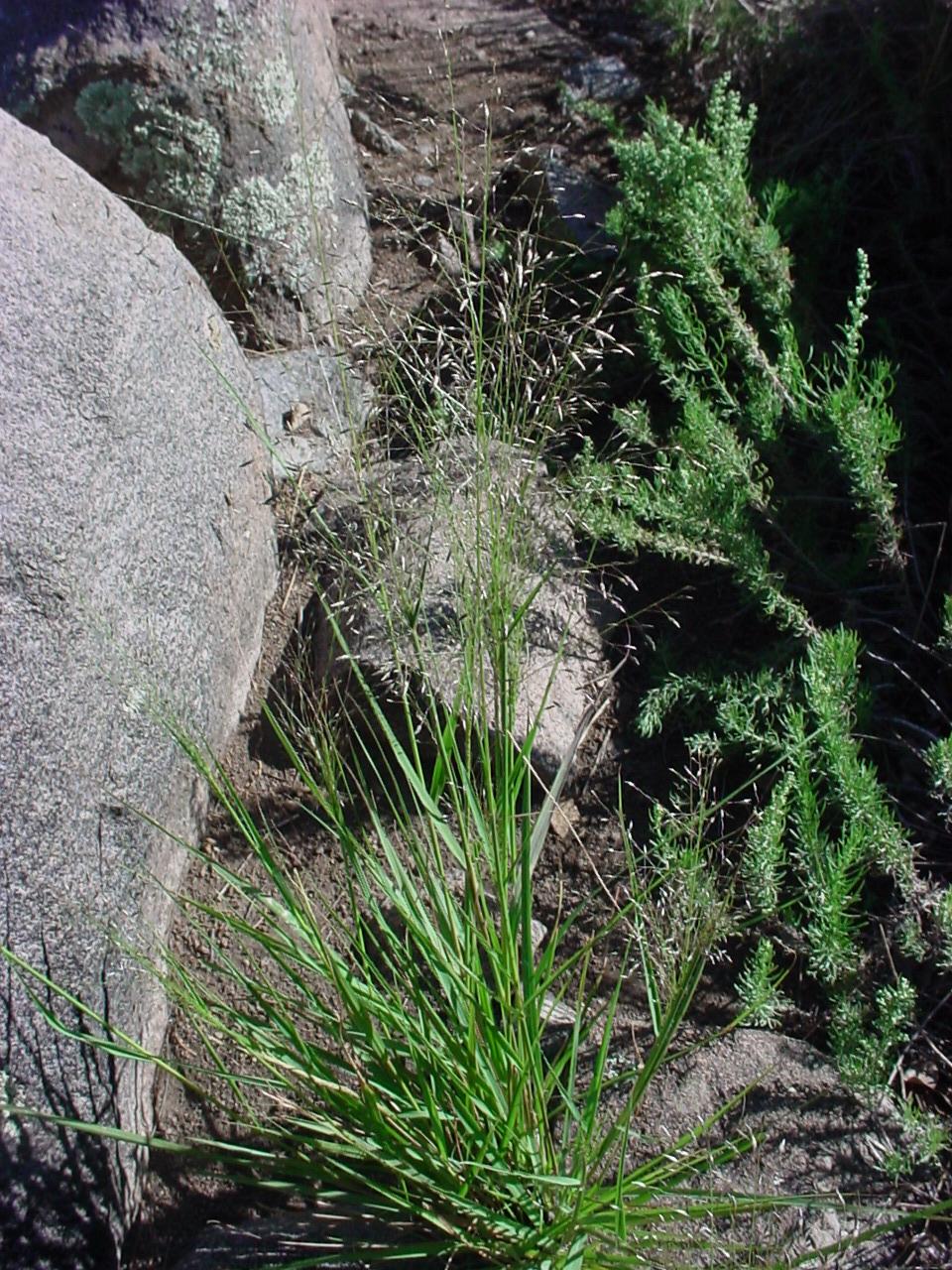Plains Lovegrass Eragrostis Intermedia