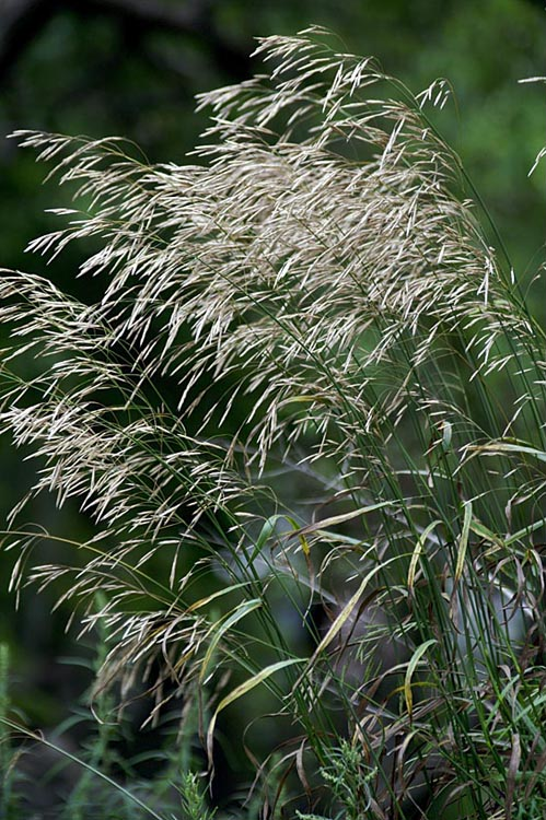 Perennial Brome Grasses : Smooth bromegrass bromus inermis