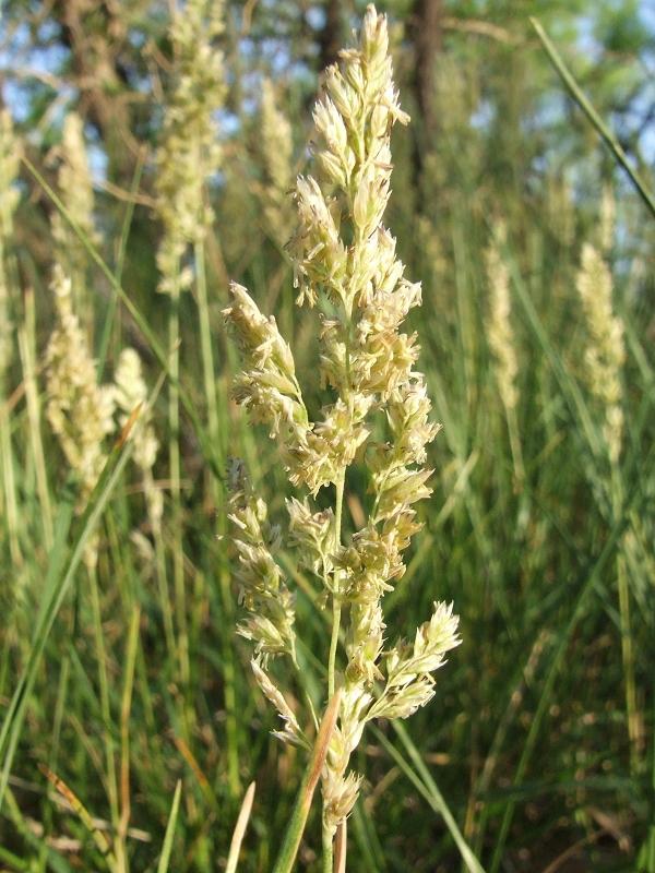 Texas Bluegrass Poa Arachnifera