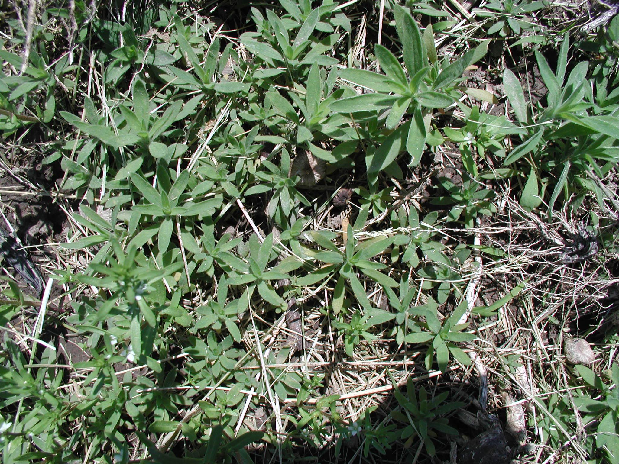 Кохия выращивание из семян 93