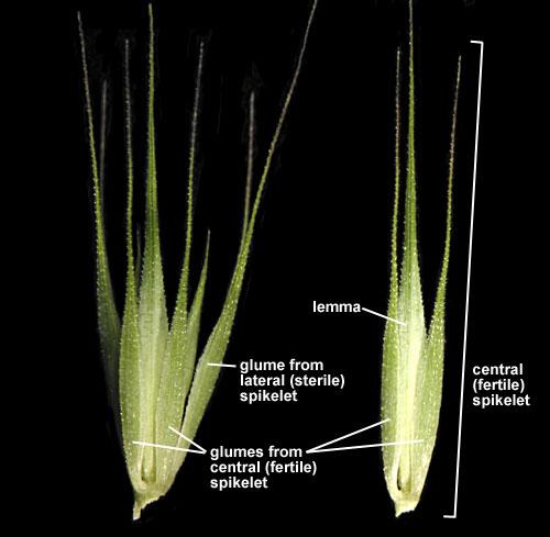 Little Barley  Hordeum Pusillum