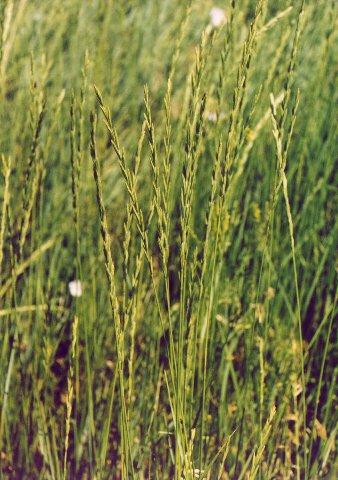 Western Wheatgrass Agropyron Smithii