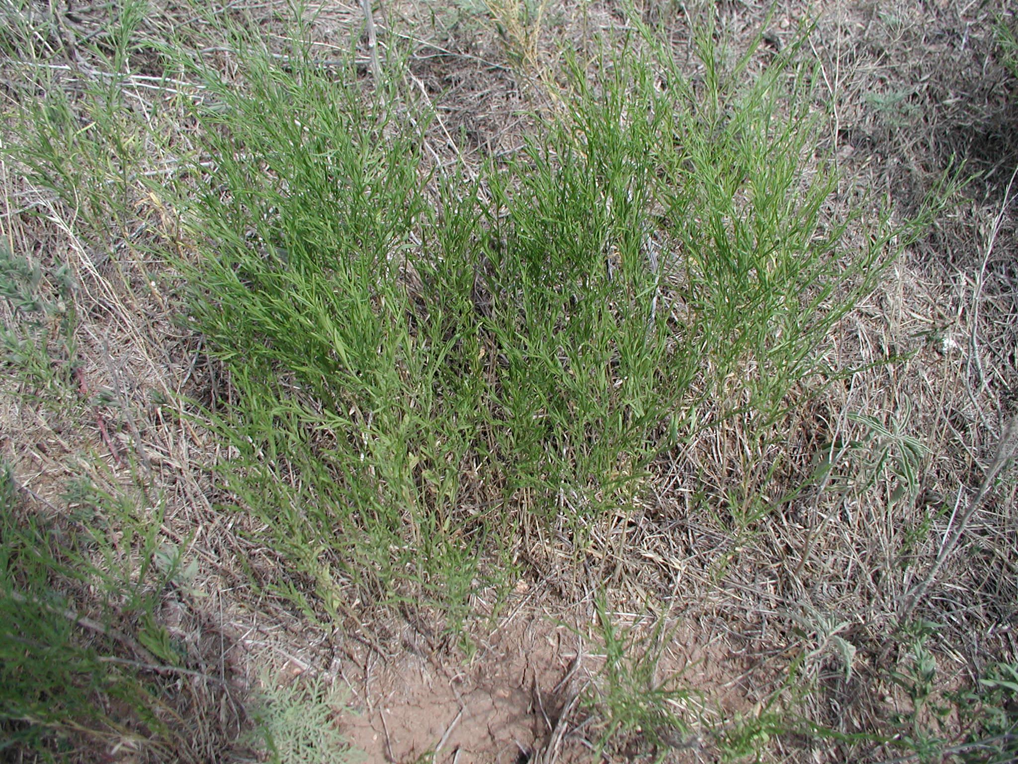 Weeds Of Field Crops